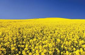 CHINA CANOLA ISSUE NEEDS RESOLUTION FOR CANADIAN FARMERS
